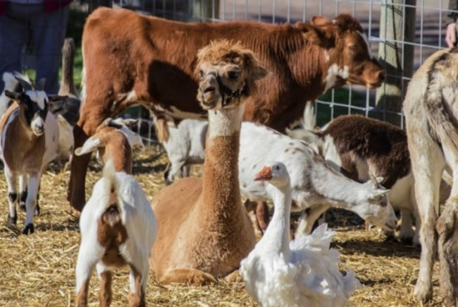 popular farm animals