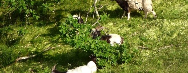 Can goats eat oak leaves