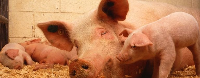 are pigs ruminant